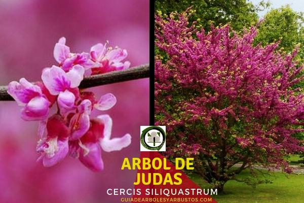 El árbol de Judas, Cercis siliquastrum, tambien conocido como el árbol del amor,