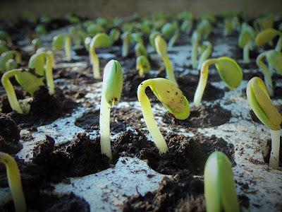 Plantas germinado