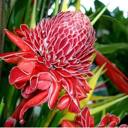 Hasil gambar untuk bunga kecombrang hd