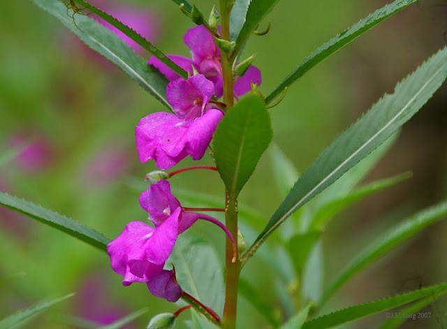 Hoa Bóng Nước - Impatiens balsamina - Nguyên liệu làm thuốc Đắp vết thương Rắn Rết cắn