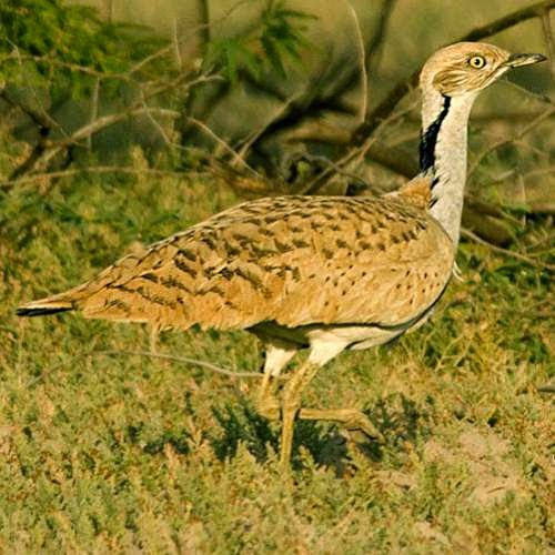 Indian birds - Image of MacQueen's bustard - Chlamydotis macqueenii