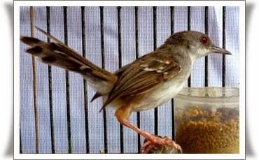 Burung prenjak didalam sangkar
