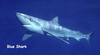 bentuk tubuh torpedi ikan hiu biru