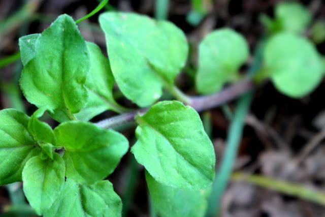 ナガエコナスビの葉