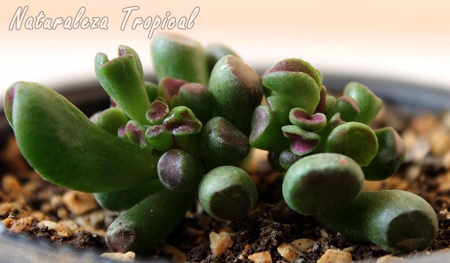 Otra foto de la planta Hobbit o Gollum, Crassula ovata monstrosa