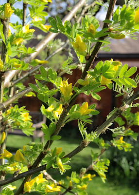 An image of the flowers and leaves of the Siberian pea tree (Caragana arborescens)