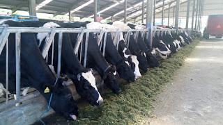 proses seleksi sapi perah dan potong