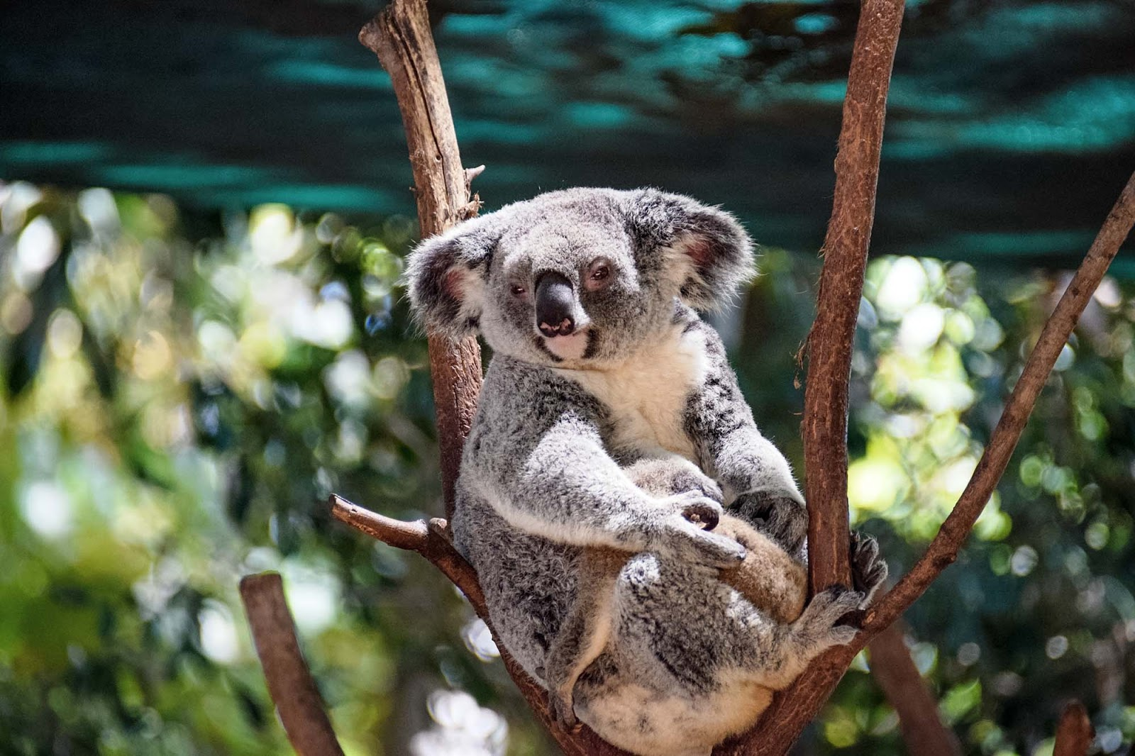 koalas at currumbin wildlife sanctuary
