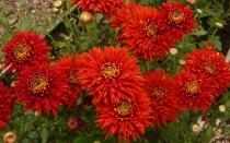 Очаровательные хризантемы