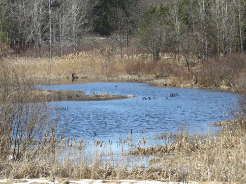 blue water in a small pond with cattails