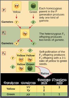 Perbandingan fenotip dan genotip pada kacang ercis keturunan kedua