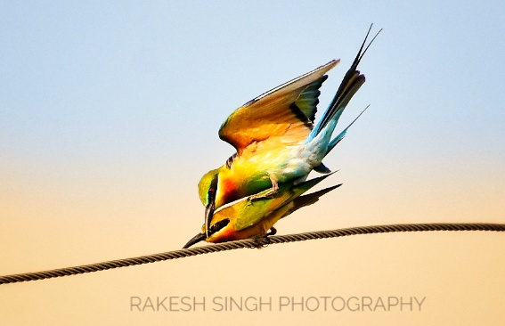 Blue tailed bee eater (2 Images)