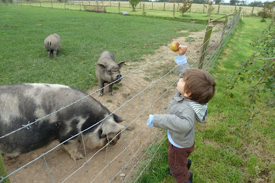 feeding pigs at Croft Farm cottages