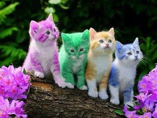 O temperamento dos filhotes varia conforme a ninhada e a socialização. Os gatos de pelo curto tendem a ser mais magros e fisicamente mais ativos, enquanto os gatos de pelo comprido tendem a ser mais pesados e letárgicos.