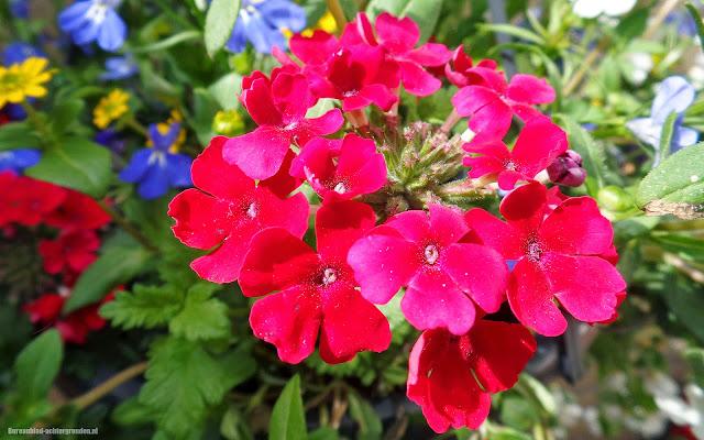 Rode bloemen in de lente