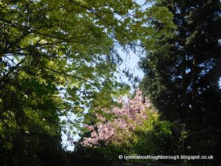 Cherry blossom amongst trees