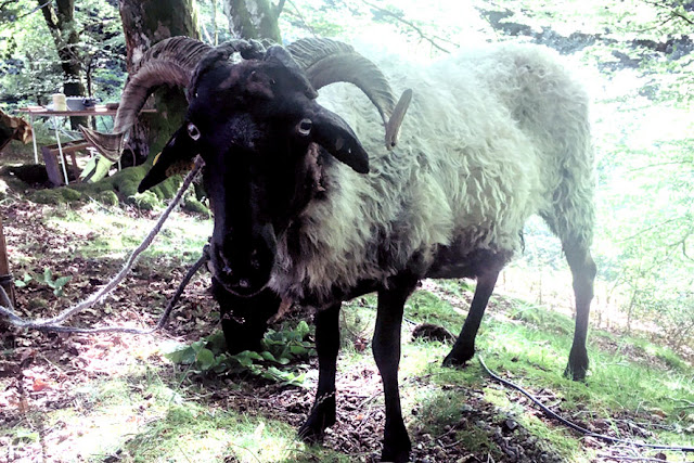 Oveja-cabra