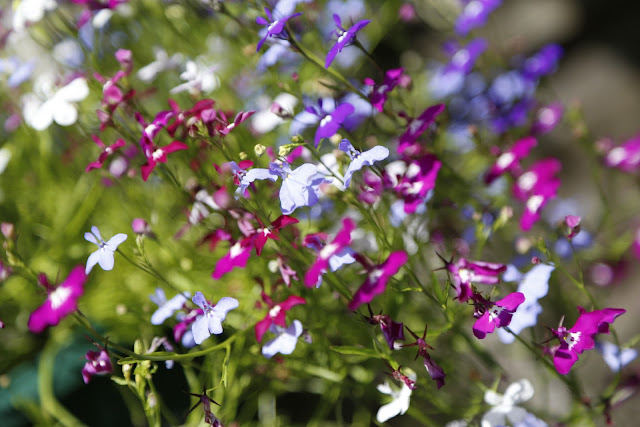 Mixed Colour Lobelia in White, Purple & Blue