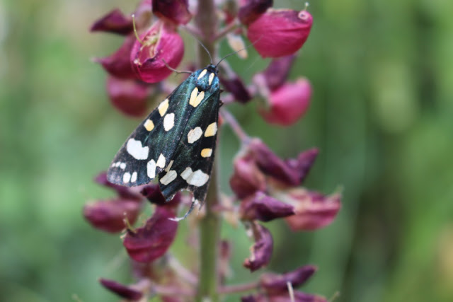 Scarlet tiger moth on a lupin plant
