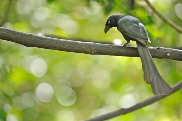Mengenal Bersahabat Jenis Dari Burung Murai Irian Tangkar Centrong Yang Dapat Di Jadikan Masteran