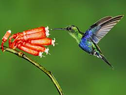 Kolibri burung kecil penghisap madu berparuh panjang