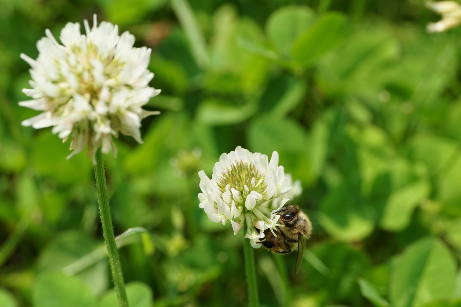 白詰草に留まる蜜蜂