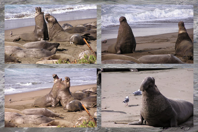 California Coast Drive - Elephant Seals at Piedras Blancas