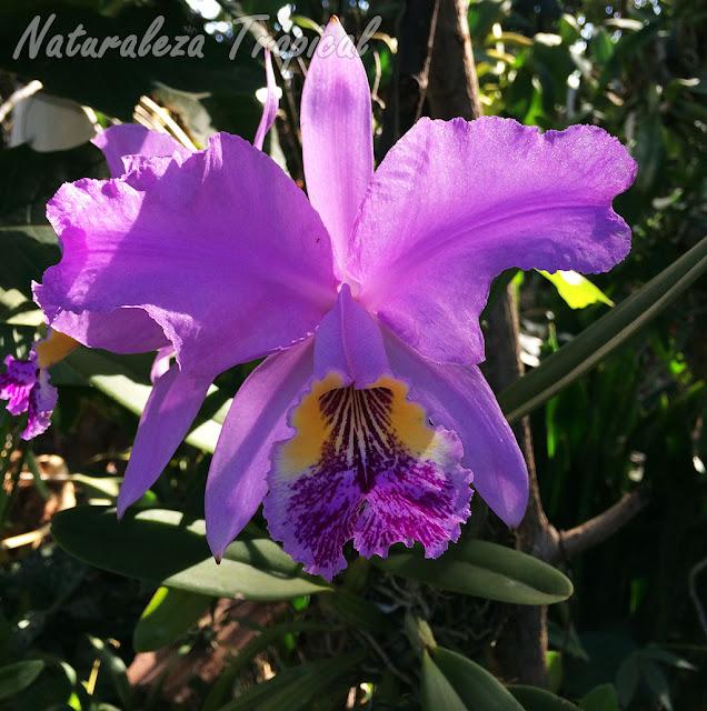 Flor de posible híbrido de la orquídea Cattleya lueddemanniana
