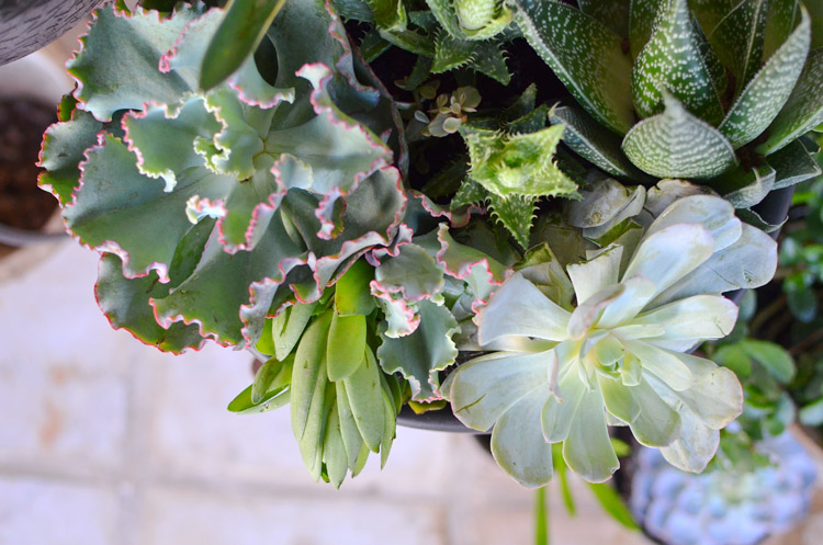 Costa Farms Succulents Photo by Amy Renea of A Nest for All Seasons