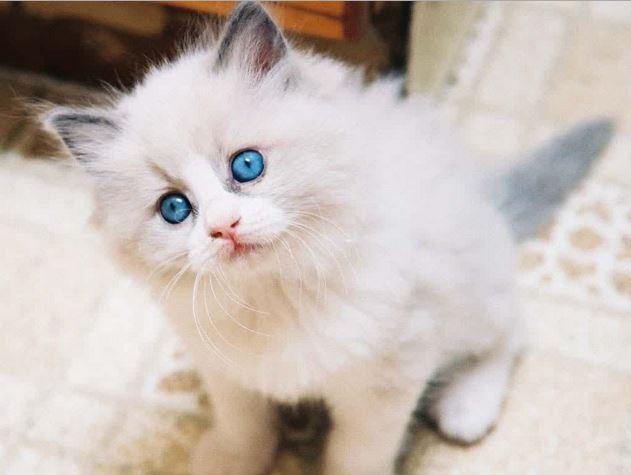 Kucing Anggora Putih Mata Biru