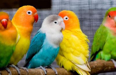 Foto Lovebird Jantan dan Betina Berbagai Jenis Warna Bulu Cara Perawatan