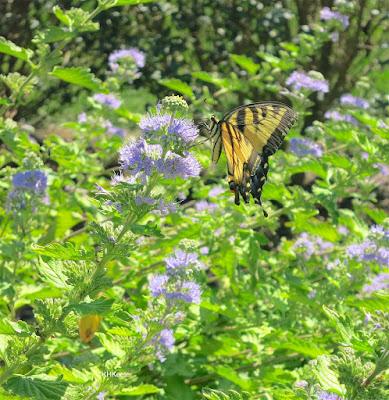 swallowtail butterfly on mint