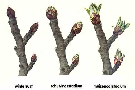 knopstadia schuivende knoppen fruit appelboom moestuin volkstuin