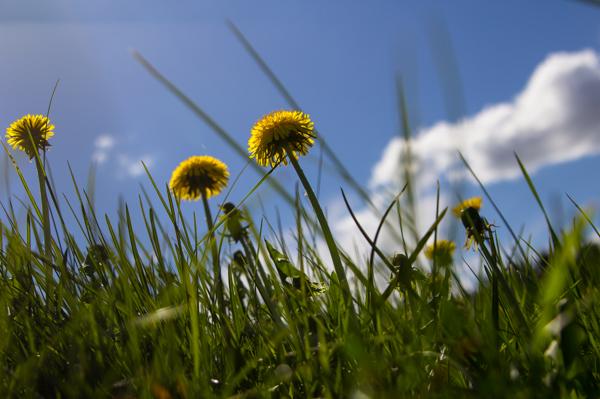 PauMau blogi valokuvaus photography luontokuva luontovalokuvaus nature puutarha kukka makrokuva flower macro macrophtography kevät  kesä ruoho voikukka grass yellow sininen taivas blue sky