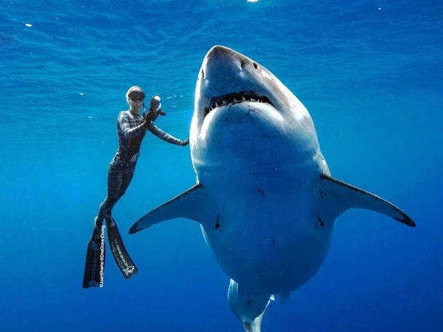 Biggest Great White Shark on Record Thrills Divers off Hawaii