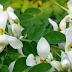 benefits of murugai flower
