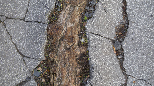 Tree root buckled and cracked driveway