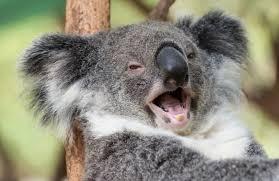 تفسير رؤية حيوان الكوالا فى المنام بالتفصيل