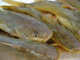 Foto de vários peixe bagre