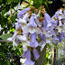 Paulownia omszona - kwiaty