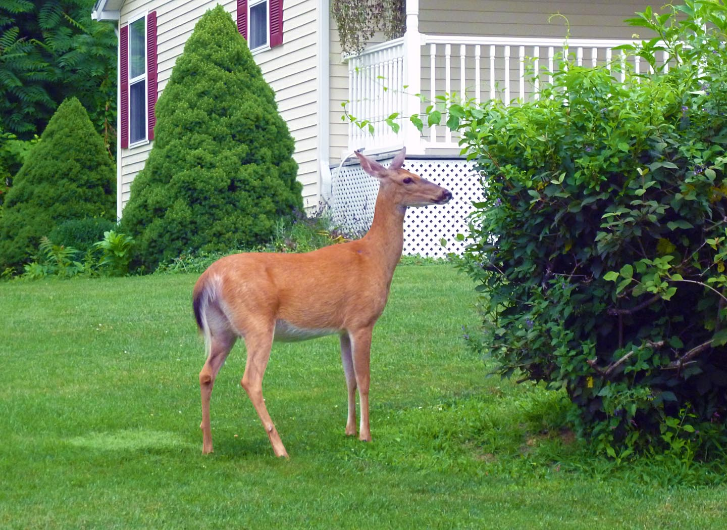 White-tailed deer doe (Odocoileus virginianus)