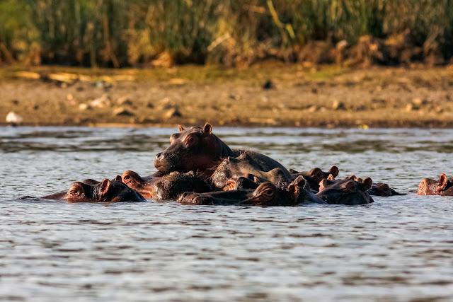 Hipopótamos en Naivasha, Kenia