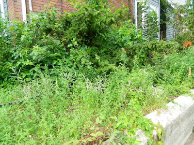 Paul Jung Gardening Services--a Toronto Organic Garden Company Riverdale Frontyard Garden Cleanup Before
