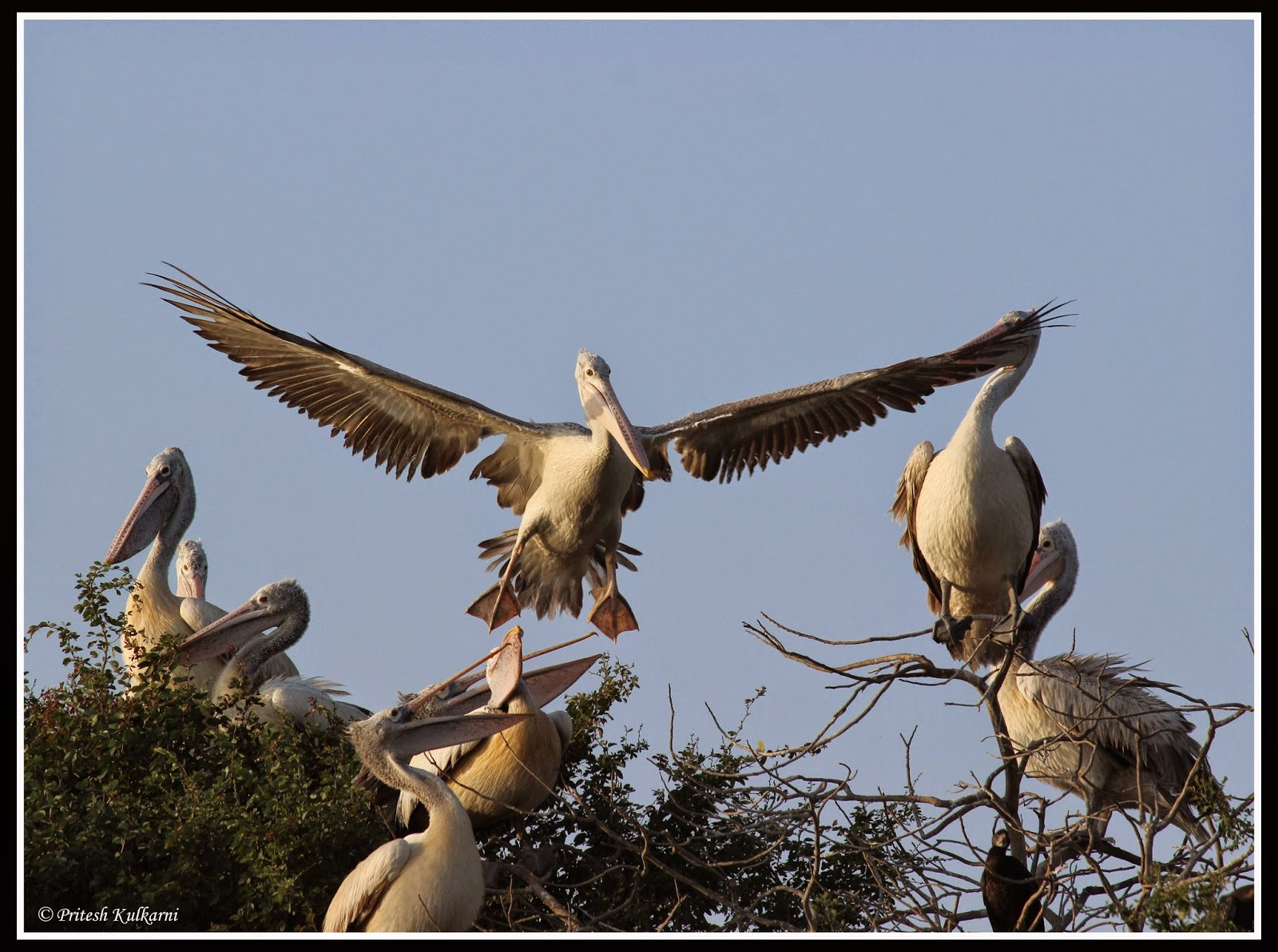 Landing is an art - Dalmatian Pelican