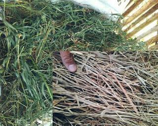 rumbu hay untuk pakan kelinci