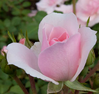 'Bonica' rose