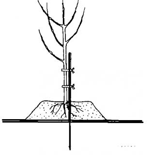 посадка-дерева-на-холмике