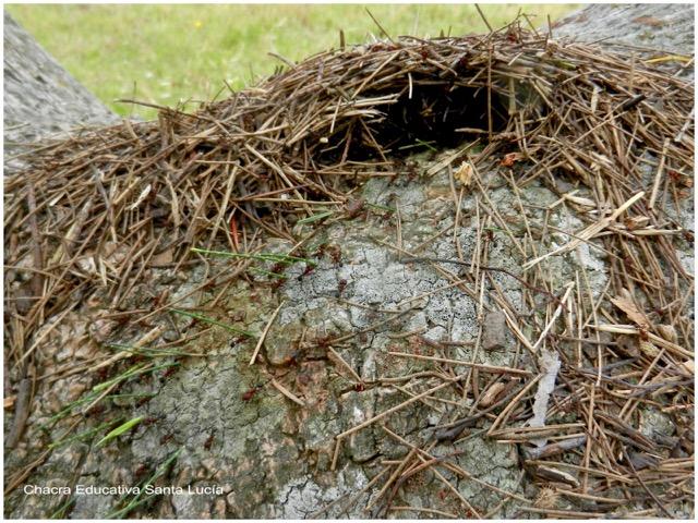 Hormigas entrando pasto y pinocha al hormiguero - Chacra Educativa Santa Lucía