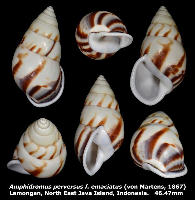 Amphidromus perversus f. emaciatus 46.47mm