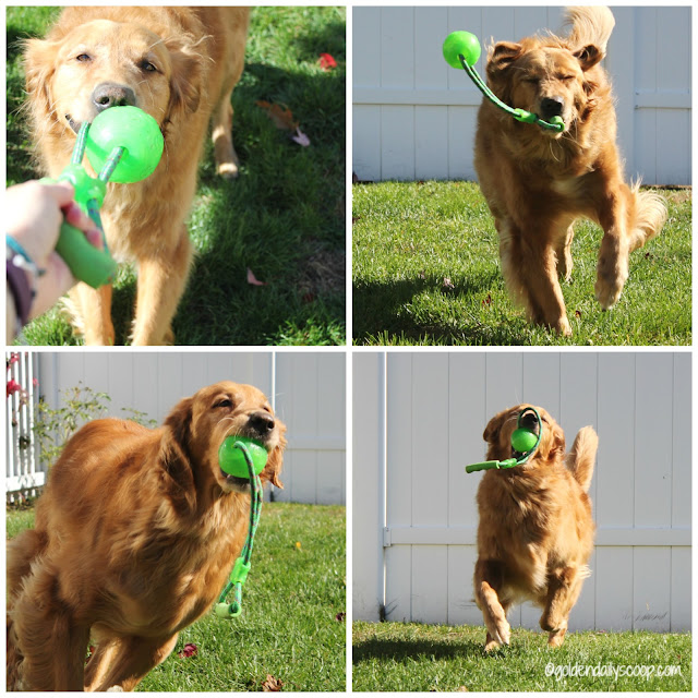 golden retriever dog playing tug in backyard #wordlesswednesday